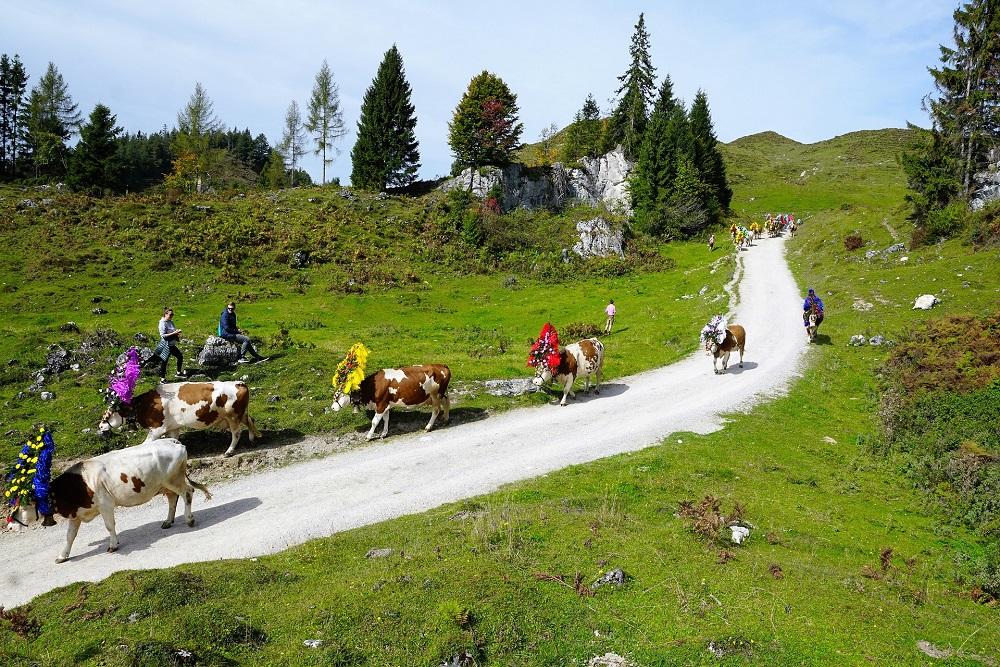 Almabtrieb Südtirol - Wandern oder Rundreise